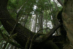 Douglas-fir, Olympic National Park